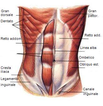 muscoli-addome-per-laparotomia